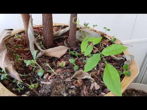 ТАМАРИНД: уникальное бобовое для зимнего сада в поместье 17.02.2019.