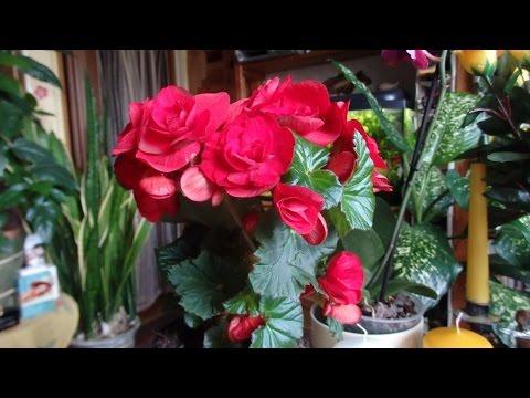 комнатные растения - бегония клубневая