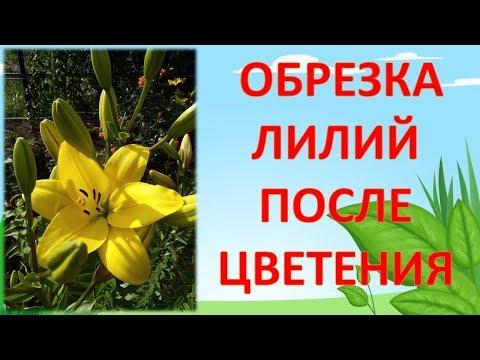 НЕ ОБРЕЗАЙТЕ ЛИЛИИ ПОСЛЕ ЦВЕТЕНИЯ, ПОКА НЕ ПОСМОТРИТЕ ЭТО ВИДЕО!!! Как обрезать лилии после цветения