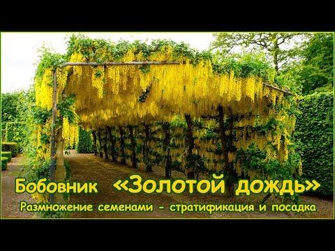 Золотой дождь - размножение семенами бобовника - стратификация и посадка