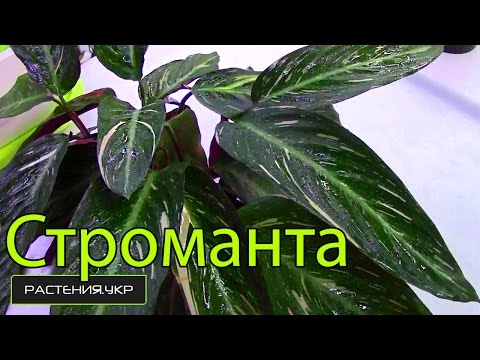 Калатея / Строманта уход в домашних условиях