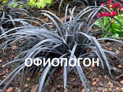 РЕДКОЕ РАСТЕНИЕ в наших садах-ОФИОПОГОН НИГРЕСЦЕНС\ Ophiopogon planiscapus Nigrescens\