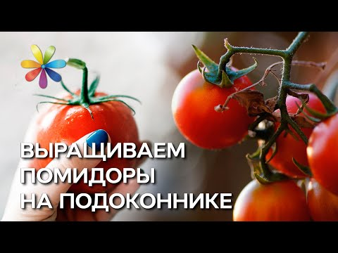 Выращиваем помидоры на подоконнике - Все буде добре - Выпуск 42 - 11.09.2012 - Все будет хорошо
