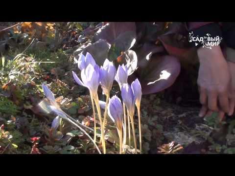 """Крокусы осенью. Сайт """"Садовый мир"""""""
