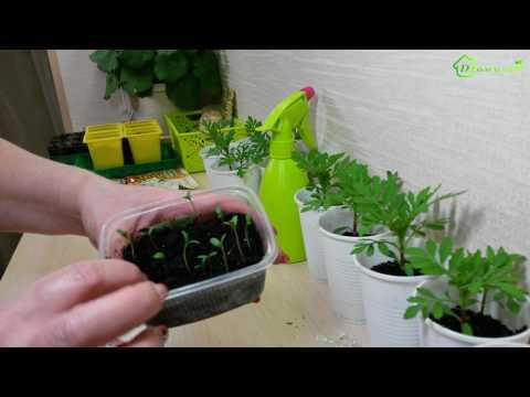 Выращивание рассады БАРХАТЦЕВ, бархотки из семян