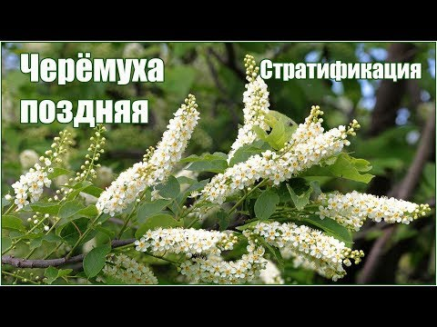 Черемуха поздняя - стратификация и посадка семян