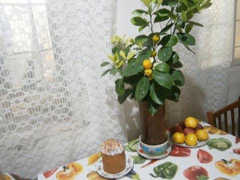 Укоренение плодовых веточек каламондина