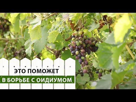 Оидиум на винограде. Причины заражения и способы борьбы