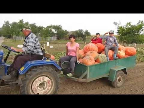 Тыква - сбор урожая
