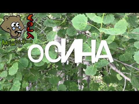 ОСИНА (Школа травоведения)