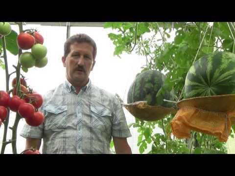 Выращивание арбузов в теплице. Сезон 2016 года.