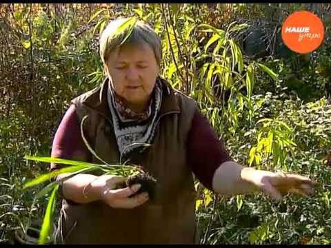 Надежда Черненко советует как готовить к зиме японский гладиолус