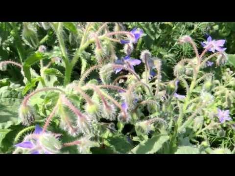 Медицинские травы. Бораго. Огуречная трава - Borago officinalis