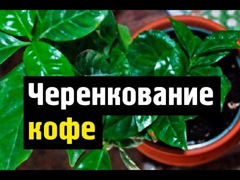 Кофейное дерево выращивание и размножение дома