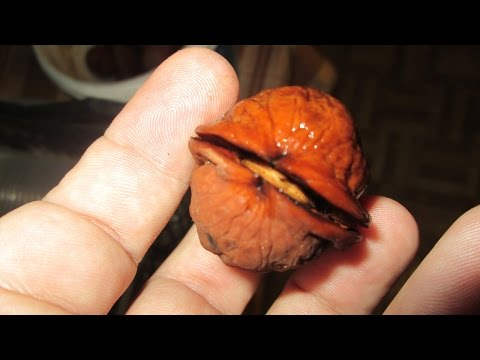 Выращивание грецкого ореха из семян (орешка), быстрым методом в домашних условиях Часть-1