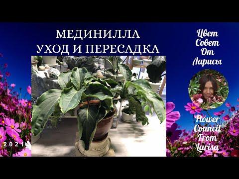 МЕДИНИЛЛА УХОД И ПЕРЕСАДКА 4К