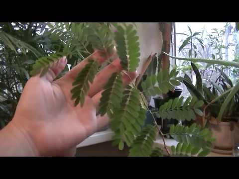 Тамаринд из семян. Как вырастить тамаринд.