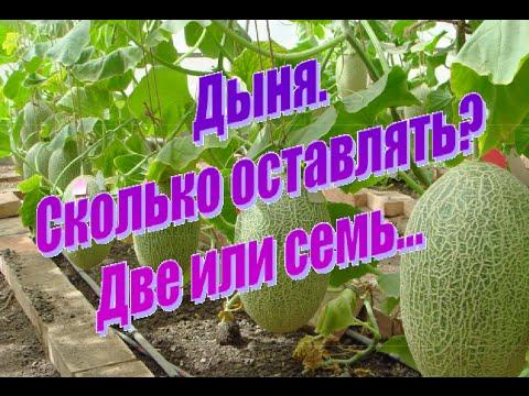 Дыня. Нормировка плодов на растении. Полив, подкормка.