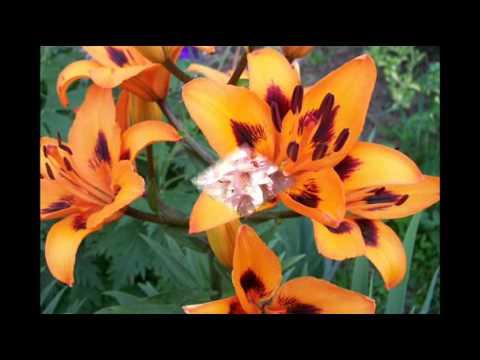 Шарм садовой лилии. Названия + фото