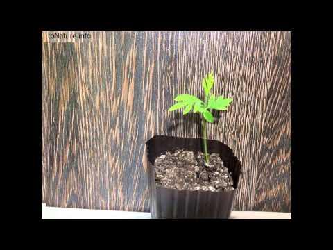 Гревиллея из семян за 6 месяцев   Grevillea from seeds