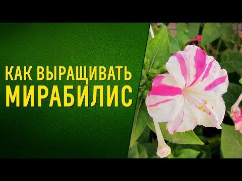 Чудесный ароматный цветок мирабилис. Как вырастить из семян