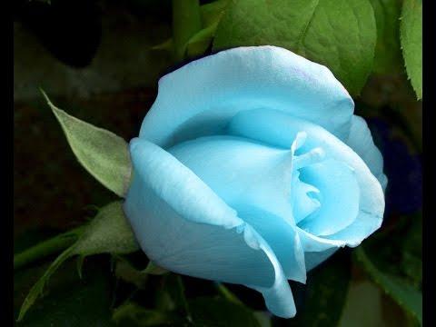 Розы. Разведение методом Буррито! Размножение роз.
