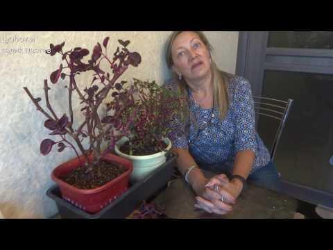 Комнатные цветы/Ирезине/Режем корни и верхушки/Быть или не быть растению дома