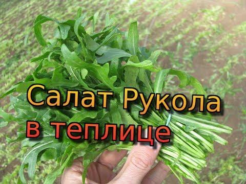 Салат рукола в теплице. Секреты выращивания руколы от фермера! Как выращивать руколу. Рукола