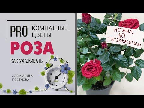 Комнатная роза. Это нужно знать обязательно.