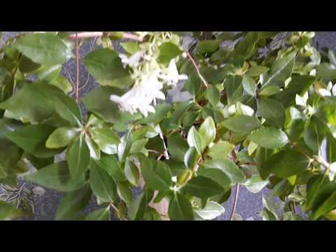 Мои цветы: абелия, русселия и многое другое