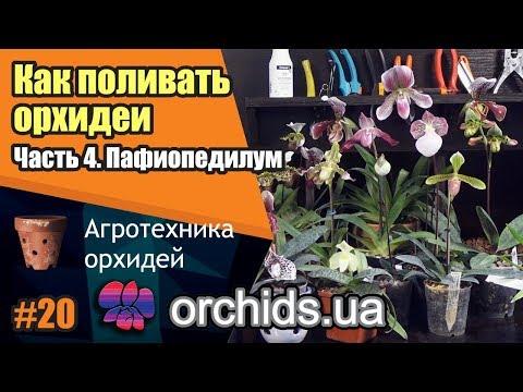 Как поливать орхидеи. Часть 4. Как поливать пафиопедилум (Paphiopedilum).
