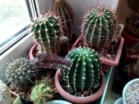 Как получить семена? Цветение, опыление эхинопсисов ( Echinopsis hybr.)