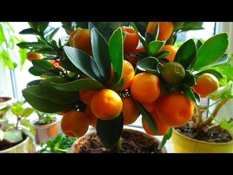 комнатные растения - каламондин