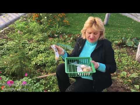 Аллярии - декоративные луки.Как правильно сажать и выращивать луки в своем саду.