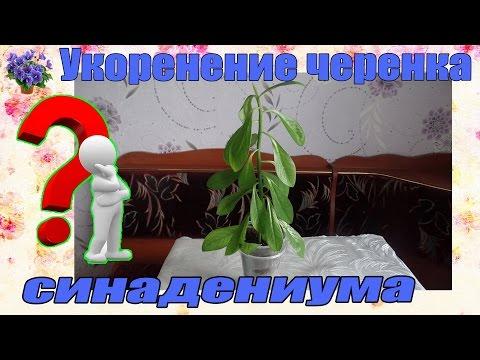 Укоренение верхушечного черенка комнатного растения синадениума в воде и посадка в грунт