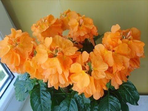 #Комнатное растение Кроссандра - цейлонская красавица. Уход, черенкование.