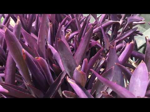 123. Сеткриазия или фиолетовая традисканция. Уход, размножение