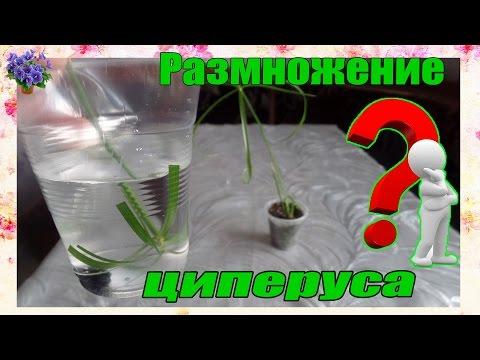 Размножение комнатного растения циперуса (Cyperus) в домашних условиях Часть 1