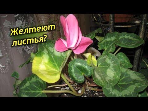 Желтеют листья у Цикламенов, что делать? Проблемы выращивания Цикламенов.