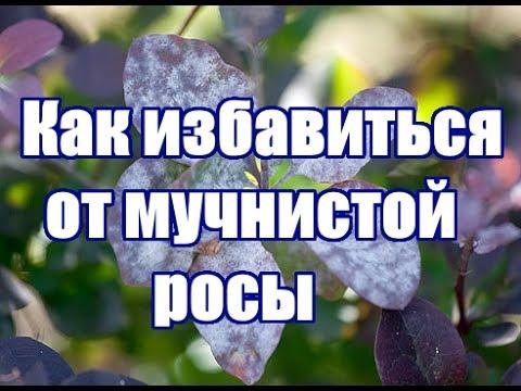 Мучнистая роса / Профилактика и меры борьбы