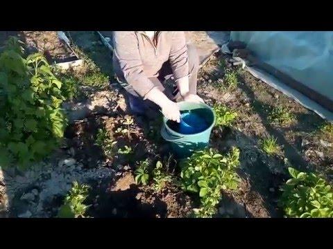 Размножаем землянику делением куста.