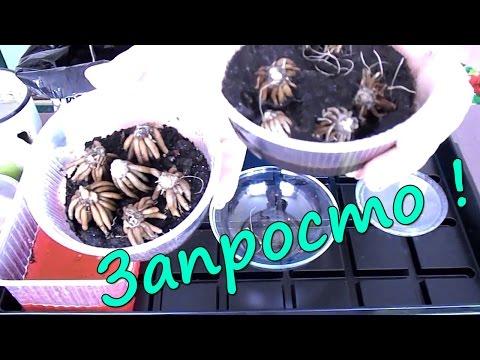 Ранункулюс (лютик) - посадка клубней