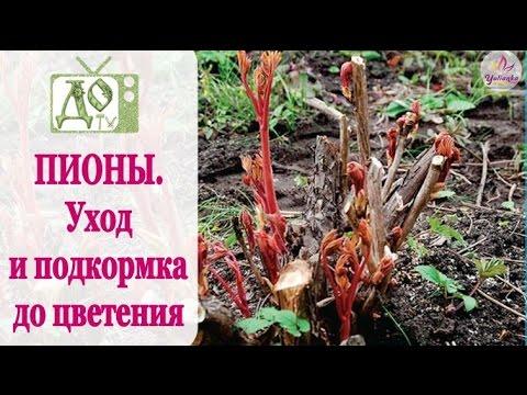 ПИОНЫ. Уход и подкормка ВЕСНОЙ до цветения