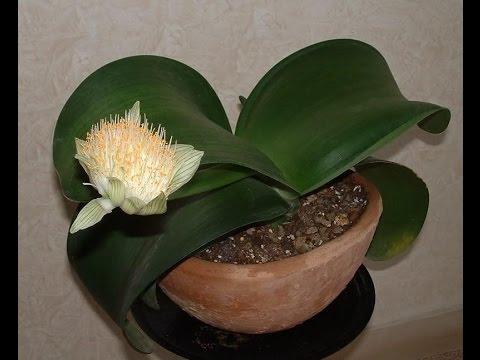 Пересадка Гемантус белоцветковый.