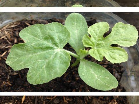 Секреты выращивания арбузов / Как вырастить здоровую рассаду