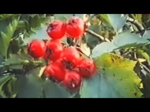 Боярышник (глод). Лечебные свойства, рецепты, противопоказания, применение в народной медицине