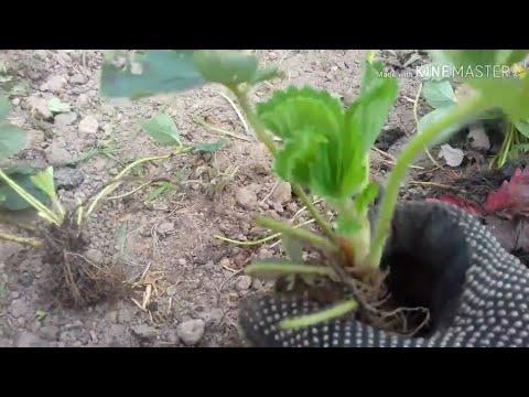 Посадка клубники в открытый грунт ( от А до Я )