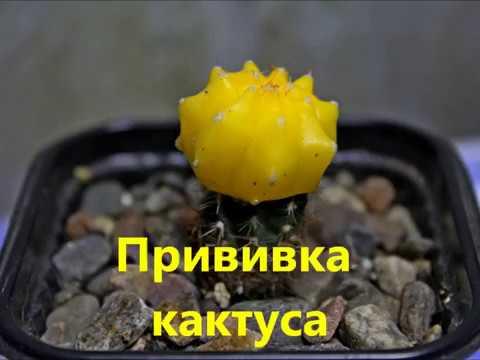 Как привить кактус