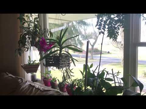 Как долго цветёт ванда. Уход в домашних условиях. Полив и удобрение орхидеи ванда. Днюха у Собакина
