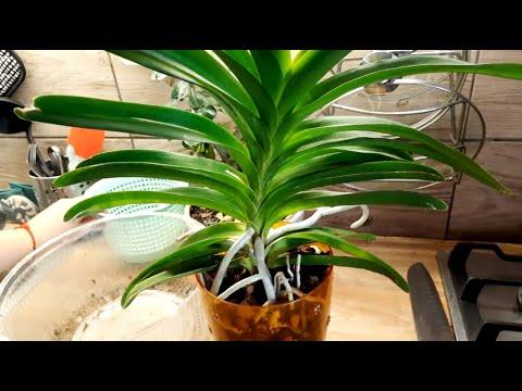 Орхидея Ванда пересадка в корзину на зиму) пересадка орхидеи
